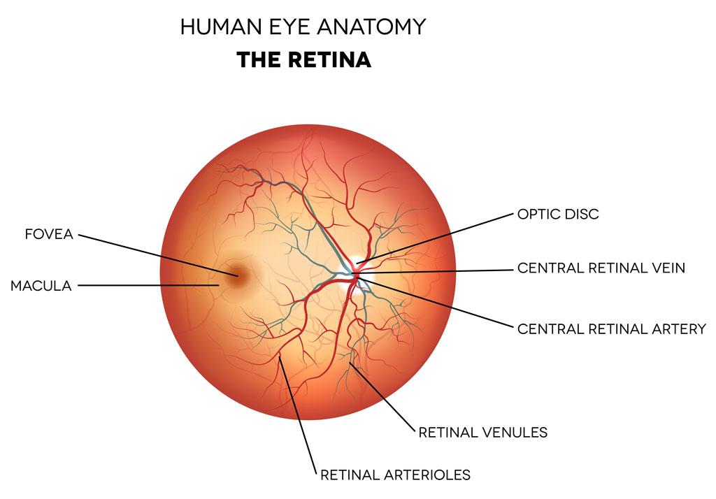 eye-anatomy-retina-optic-disc-artery-and-vein